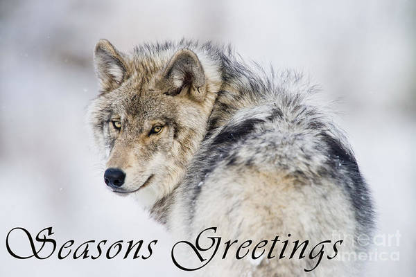 Photograph - Timber Wolf Seasons Greetings Card 19 by Wolves Only