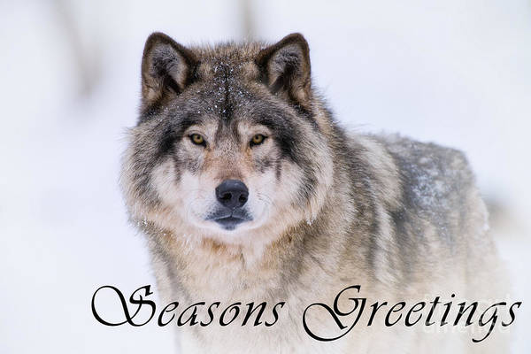 Photograph - Timber Wolf Seasons Greetings Card 20 by Wolves Only