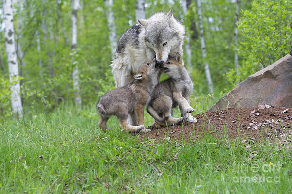 Timber Wolves Photograph - Timber Wolf With Pups, Canis Lupus by M. Watson