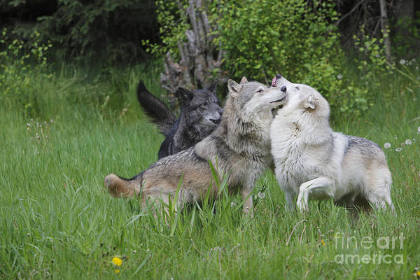 Timber Wolves Photograph - Timber Wolves, Canis Lupus by M. Watson