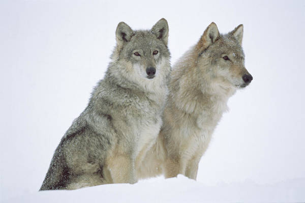 Wall Art - Photograph - Timber Wolves Sitting In Snow by Tim Fitzharris