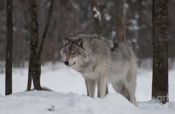 Timberwolves Photograph - Timberwolf Series 4 by Bianca Nadeau