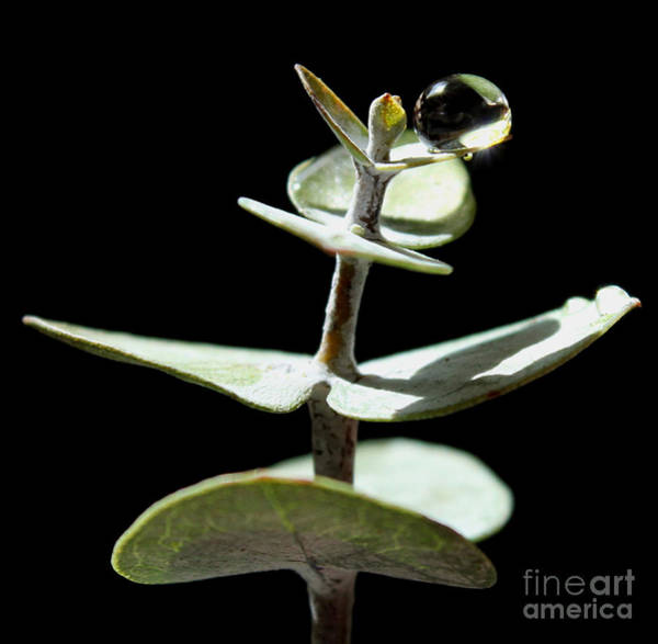 Eucalyptus Photograph - Time To Heal by Krissy Katsimbras