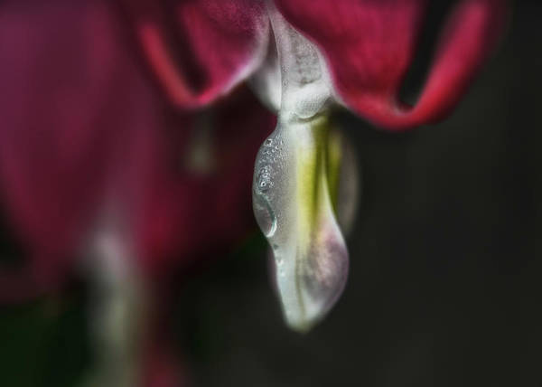 Bleeding Photograph - Timeless by Susan Capuano