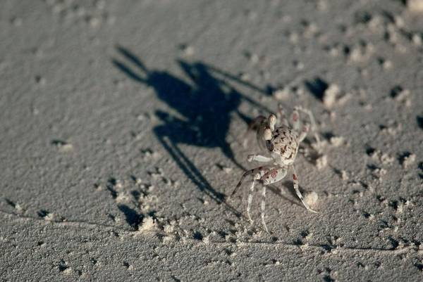 Wall Art - Photograph - Tiny Crab On Sand by Scubazoo/science Photo Library