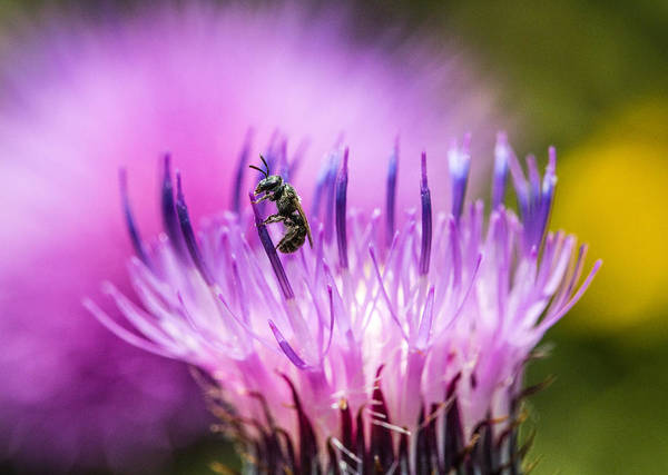 Photograph - Tiny Dark Bee On Texas Thistle by Steven Schwartzman