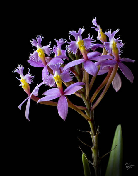 Photograph - Tiny Orchids by Endre Balogh