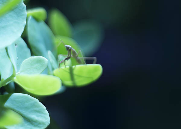 Photograph - Tiny Praying Mantis On Sedum by Rebecca Sherman