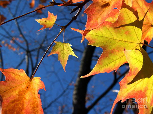 Wall Art - Photograph - Tiny Sugar Maple Leaves Aglow by Anna Lisa Yoder