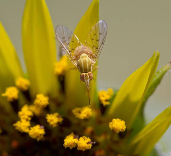 Photograph - Tiny Tan Fly On Sunflower by Steven Schwartzman
