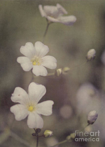 Photograph - Tiny White Flowers by Pam  Holdsworth