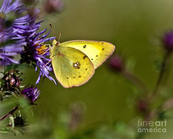 Sulfur Butterfly Wall Art - Photograph - Little Yellow Butterfly by Cheryl Baxter