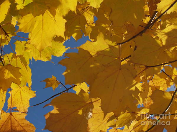 Wall Art - Photograph - Tiny Yellow Maple Leaf In The Blue by Anna Lisa Yoder