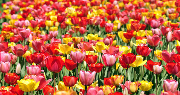 Photograph - Tiptoe Through The Tulips by Joanne Brown