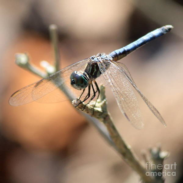 Blue Dragonfly Photograph - Tired Dragonfly Square by Carol Groenen