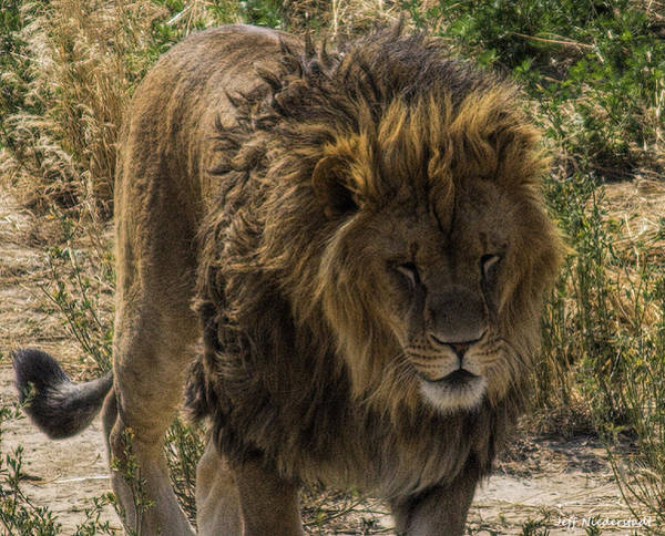 Photograph - Tired Lion by Jeff Niederstadt