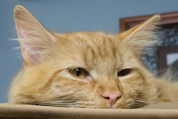 Photograph - Tired Orange Tabby by Guy Whiteley