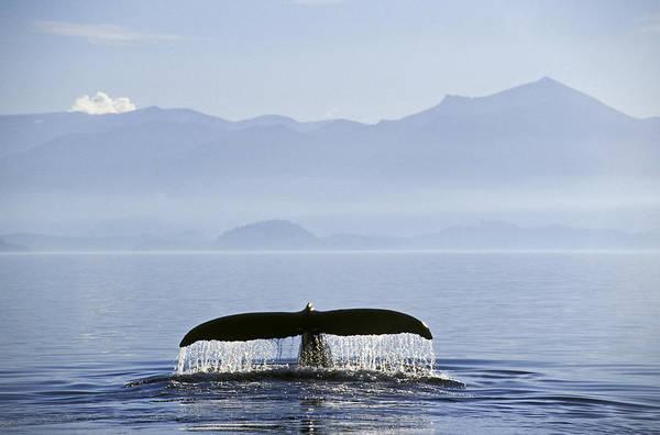 Gulf Of Alaska Photograph - Tk0408, Thomas Kitchin Humpback Whale by Thomas Kitchin & Victoria Hurst