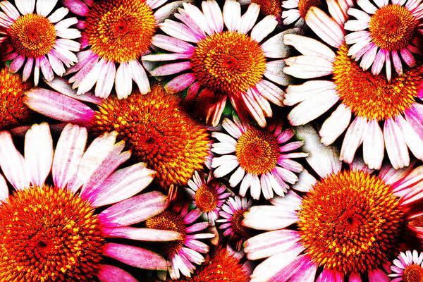 Photograph - To Echinacea And Beyond by Lincoln Rogers