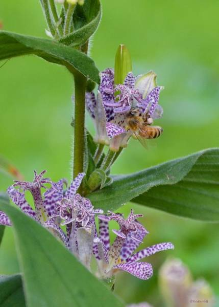 Toad Lily And Hover Fly Art Print