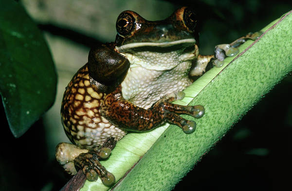 Wall Art - Photograph - Toad Tree Frog by Dr Morley Read/science Photo Library.