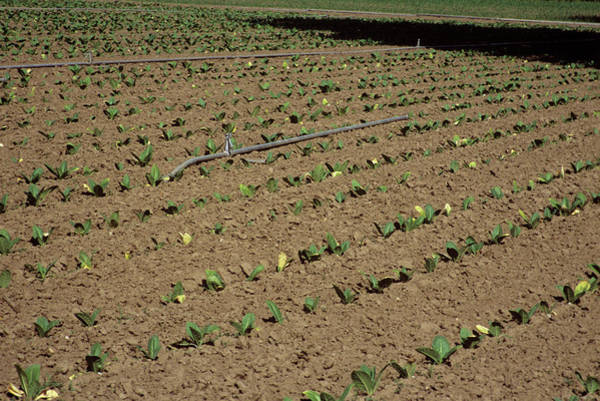 Tobacco Photograph - Tobacco Crop Irrigation by A C Seinet/science Photo Library