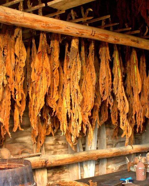 Photograph - Tobacco Drying 3 by John Feiser