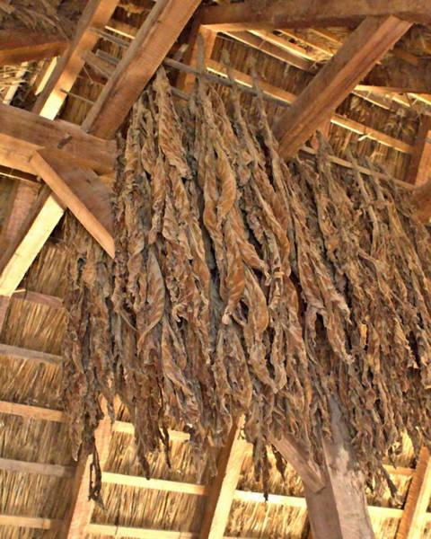 Photograph - Tobacco Drying by John Feiser