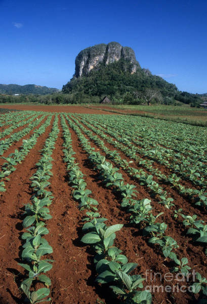 Photograph - Tobacco Field by James Brunker
