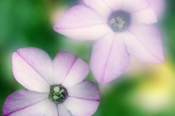 Tobacco Photograph - Tobacco Flower (nicotiana Alata) by Maria Mosolova/science Photo Library