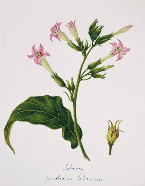 Wall Art - Photograph - Tobacco Flowers by Natural History Museum, London/science Photo Library