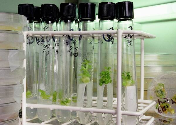 Suspended Photograph - Tobacco Seedlings Being Cultured by Jerry Mason/science Photo Library