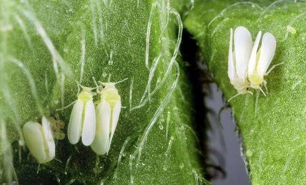 Tobacco Photograph - Tobacco Whiteflies by Stephen Ausmus/us Department Of Agriculture/science Photo Library
