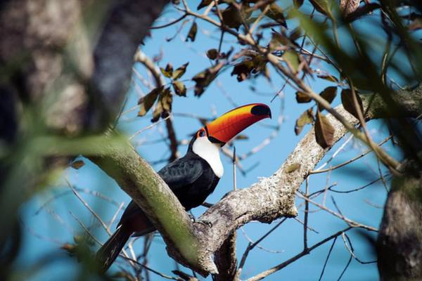 Toucan Photograph - Toco Toucan In A Tree by Paul Williams