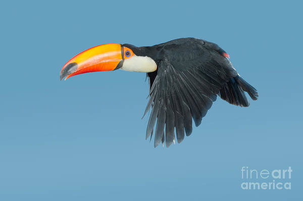 Ramphastidae Photograph - Toco Toucan In Flight by Anthony Mercieca
