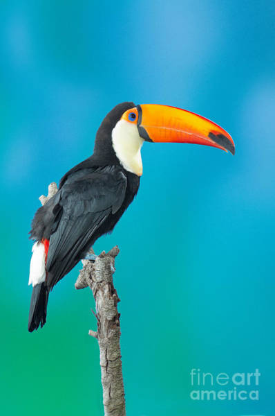 Ramphastidae Photograph - Toco Toucan Perched by Anthony Mercieca