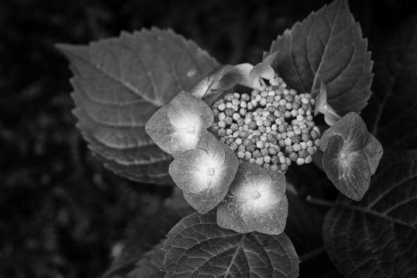 Photograph - Today In Hydrangea Progress by Ben Shields