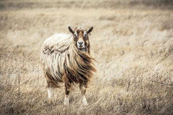 Southwest Usa Photograph - Toggenburg Goat In A Field by Harpazo hope