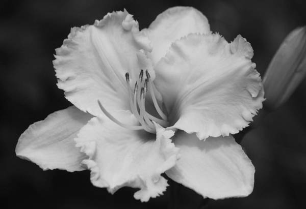 Wall Art - Photograph - Tom Leonard Daylily - Black And White by Suzanne Gaff