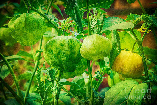 Photograph - Tomatillos  by James BO Insogna