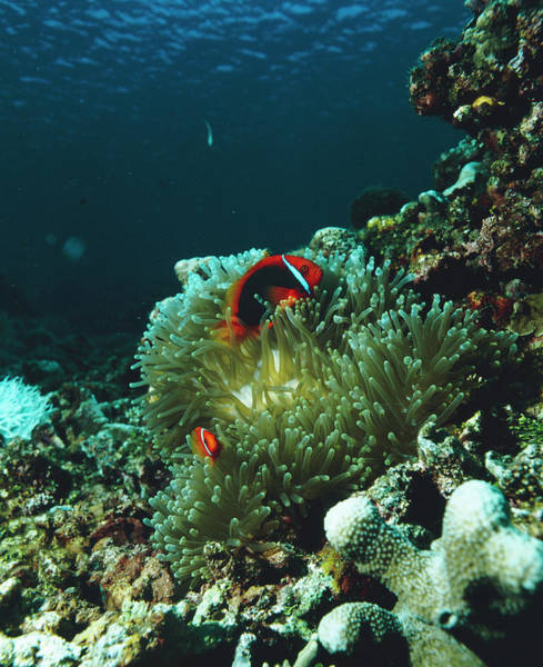 Clownfish Photograph - Tomato Anemonefish by Peter Scoones/science Photo Library