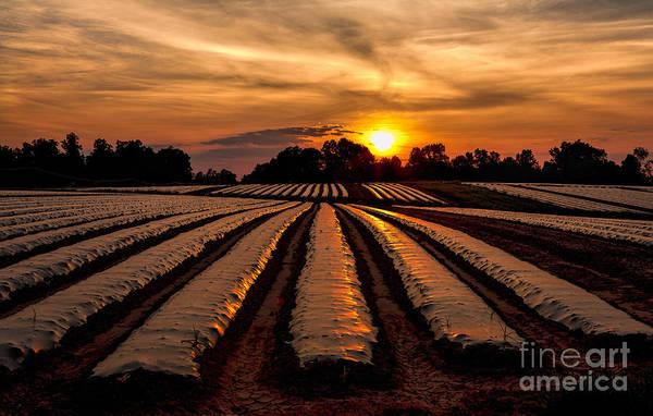 Rowan Photograph - Tomato Field At Sunrise by Dan Carmichael