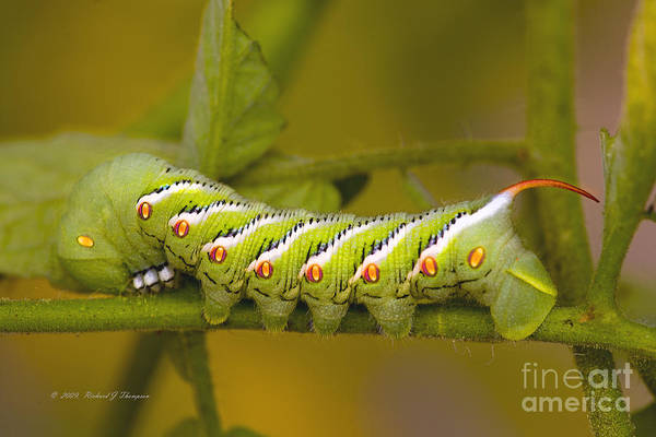 Photograph - Tomato Hornworm by Richard J Thompson