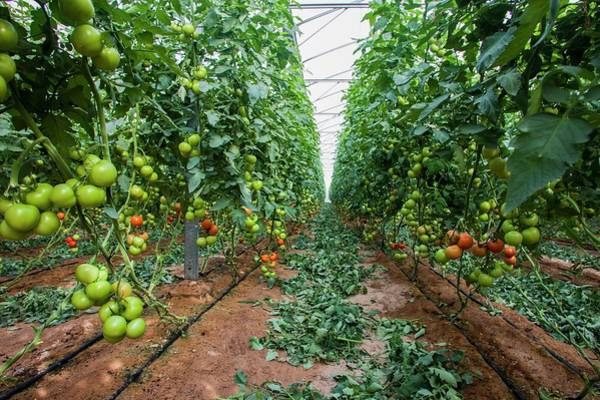 Glasshouse Photograph - Tomato In A Greenhouse by Photostock-israel/science Photo Library