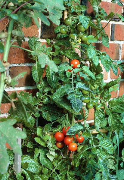Vegetable Garden Photograph - Tomato Plant Growing Up A Wall by Science Photo Library