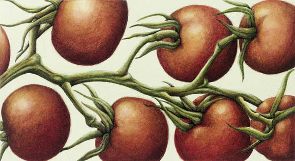 Salad Photograph - Tomato Vine, 1999 Wc On Paper by Annabel Barrett