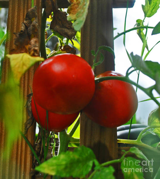 Photograph - Tomatoes Closely by George D Gordon III