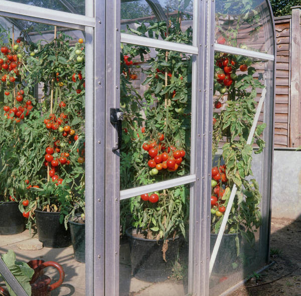 Glasshouse Photograph - Tomatoes In A Greenhouse by Anthony Cooper/science Photo Library