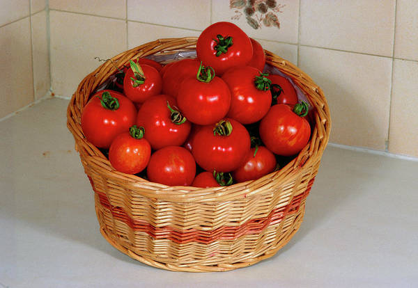 Salad Photograph - Tomatoes In Basket by Adrian Thomas/science Photo Library