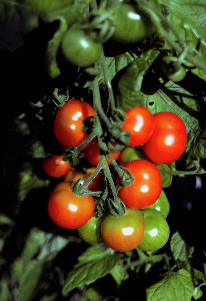 Wall Art - Photograph - Tomatoes On The Vine by Irene Windridge/science Photo Library